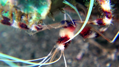 banded boxer shrimp Negros Philippines