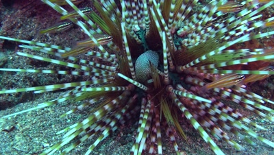 banded sea urchin echinothrix calamaris Negros Philippines