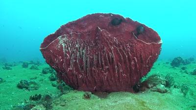 barrel sponge Negros Philippines