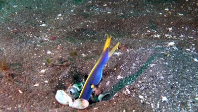 blue ribbon eel Negros Philippines