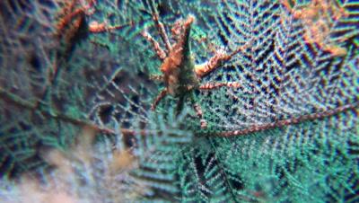 conic spider crab Negros Philippines