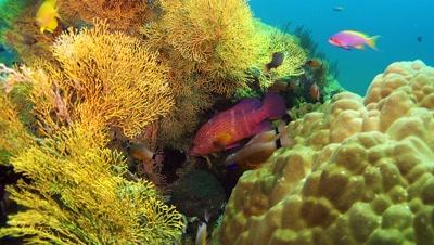 corasl grouper Negros Philippines