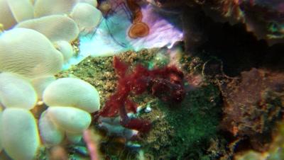 orangutan crab Negros Philippines