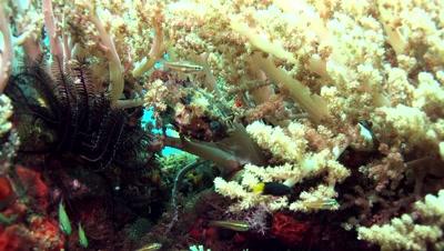 orbicula burrfish Negros Philippines