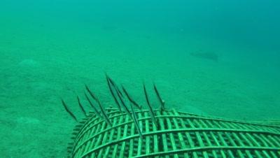 razorfish shoal Negros Philippines