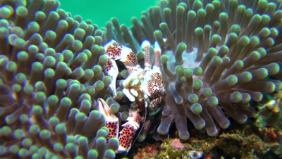 spotted anemone porcelain crab Negros Philippines