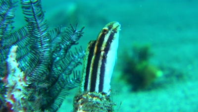 striped poison fanged blenny in bottle housing Negros Philippnies