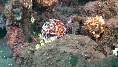 tiger cowrie Negros Philippines