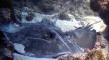 Southern Stingrays Mating On Sand Bottom