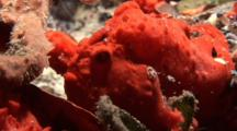 Red Frogfish Among Red Sponge