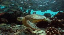 Green Turtle Swimming Among Schooling Jacks