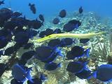 Trumpetfish Hunting Amongst Blue Tangs