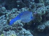 Honeycomb Cowfish Tracking Vibrant Blue