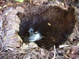 Juvenile White-Tailed Tropicbird  Nesting In Dead Coconut Tree