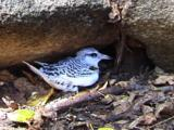 Juvenile White-Tailed Tropicbird In Nest