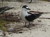 Sooty Tern With Egg
