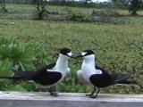Sooty Tern Mating Display