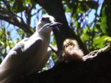 Fairy Tern Bring Food To Baby