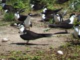 Sooty Terns With Eggs