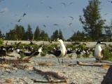Sooty Tern Colony Nesting