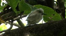 Looking Up At Baby Fairy Tern On Branch