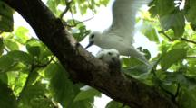 Fairy Terns Mating On Branch