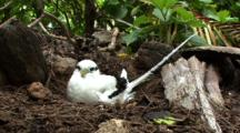 White-Tailed Tropicbird In Ground Nest