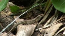 Wright's Skink And White-Tailed Tropicbird
