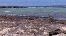 Ruddy Turnstones On Rocky Shore