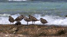 Ruddy Turnstones On Rocky Shore