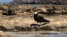 Brown Noddy Near Tidepool