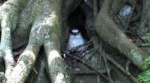 White-Tailed Tropicbird Nesting In Roots Of Banyan Tree