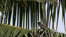 Brown Noddy On Coconut Tree