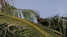 Brown Noddy On Coconut Tree Palm