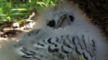 Juvenile White-Tailed Tropicbird, Fuzzy Chick