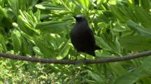 Brown Noddy Perched On Branch