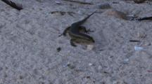 Wright's Skink On The Beach