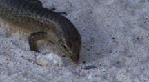 Wright's Skink Searching For Food On A Beach