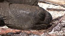 Giant Tortoise Sleeping On The Beach