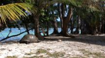 Giant Tortoise Resting In Front Of The Beach
