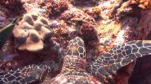 Hawksbill Turtle Eating