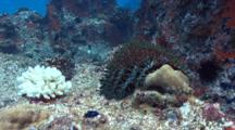 Acanthaster Eating Corals