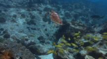 Hawksbill Turtle Goes Up To Breath