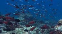 School Of Bigeyes And Fusiliers