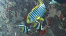 Sweetlips And Bannerfish