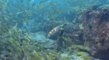 Hawksbill Turtle In School Of Snappers