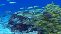 School Of Snappers And Goatfishes