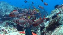 Soldierfishes