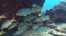 Oriental Sweetlips And Snappers