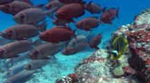 School Of Bigeyes And A Butterflyfish